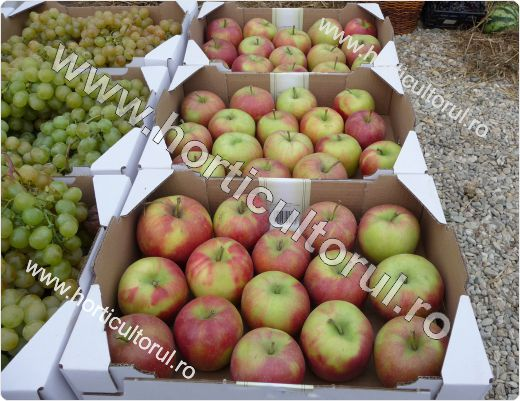 Fig. 1 Recoltarea merelor