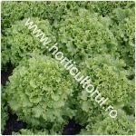 Recoltarea salatei_150