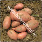 Recoltarea si pastrarea cartofilor_150