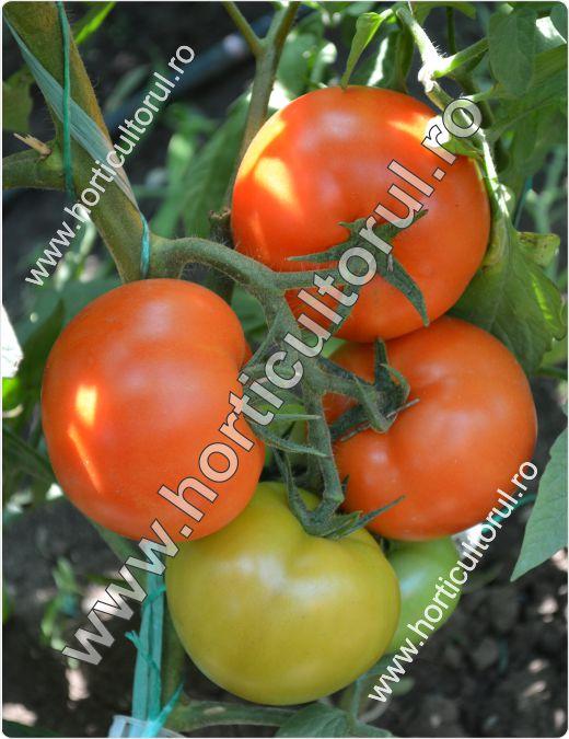 Tomatele Minaret F1-cultivare-1