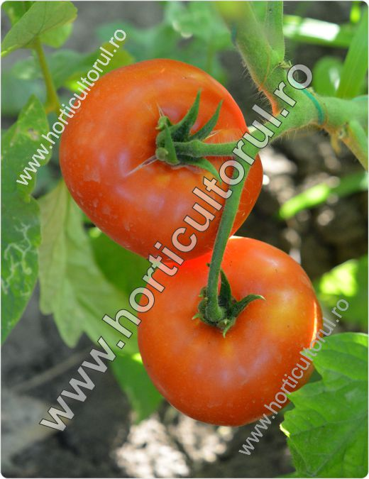 Tomatele-Rosiile MARMANDE_1