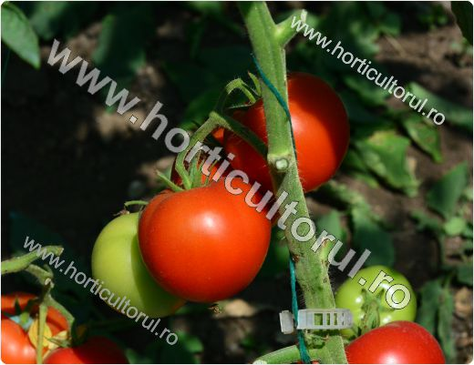 "Tomatele Sandoline F1 (Solanum lycopersicum ""Sandoline F1"")"