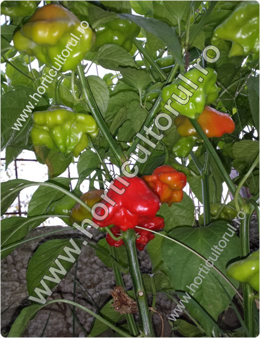 Ardeiul chili Bishop's Crown (Capsicum baccatum 'Bishop's Crown')