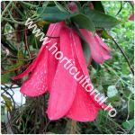 clopotel-chilian-lapageria-rosea_150