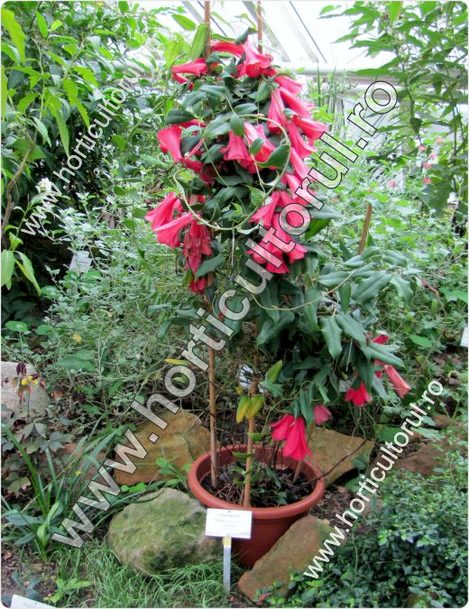 clopotel-chilian-lapageria-rosea_1