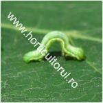 cotarul-verde-operophtera-brumata_150