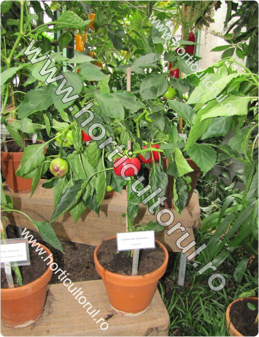 Cultivarea Ardeilor in ghiveci-container