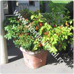 cultivarea-ardeilor-in-ghiveci-container_150