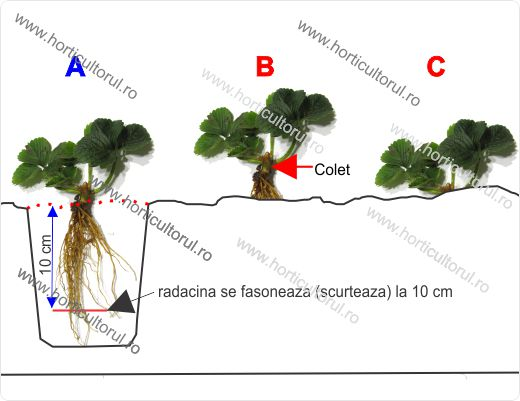 Cultivarea capsunilor in ghiveci pe balcon & terase