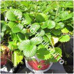 cultivarea-capsunilor-in-ghivece-pe-balcon-terase
