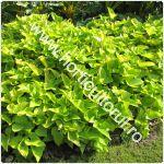 cultivarea-cartofului-dulce-batatului_150