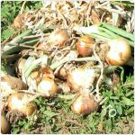 cultivarea-cepei-din-arpagic_150