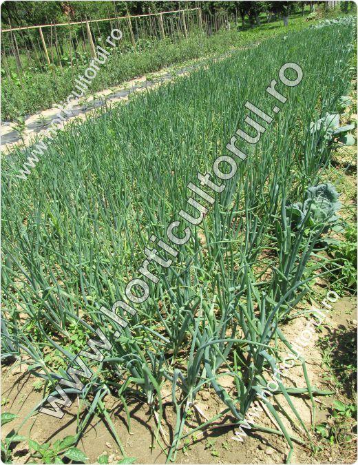 Cultivarea cepei din arpagic in gradina si camp