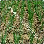 cultivarea-cepei-prin-rasad_150