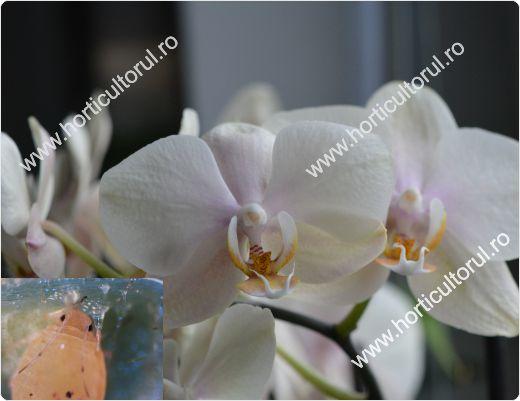 daunatori-la-orhidee-afidele_1