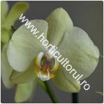 daunatori-la-orhidee-afidele_150