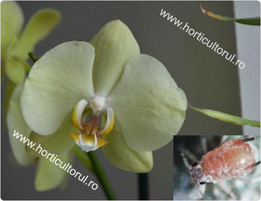 daunatori-la-orhidee-afidele_2