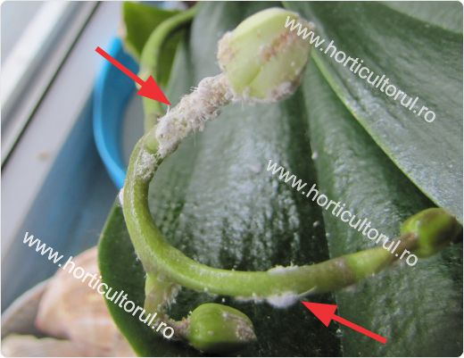 Paduchele lanos-daunator la orhidee