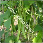 Fasolea de Spania - Phaseolus coccineus_150