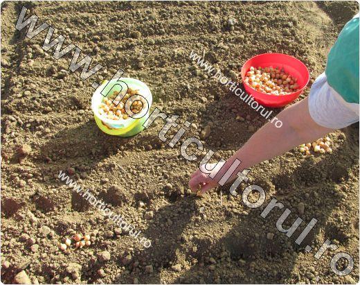 Infiintarea culturii de ceapa in toamna din arpagic