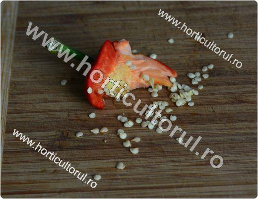 Obtinerea-recoltarea semintelor de ardei_5