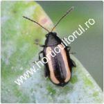 Puricele vargat al rapitei-verzei-Phyllotreta nemorum_150