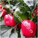 recoltarea-ardeiului-rosu-gras-si-capia_150