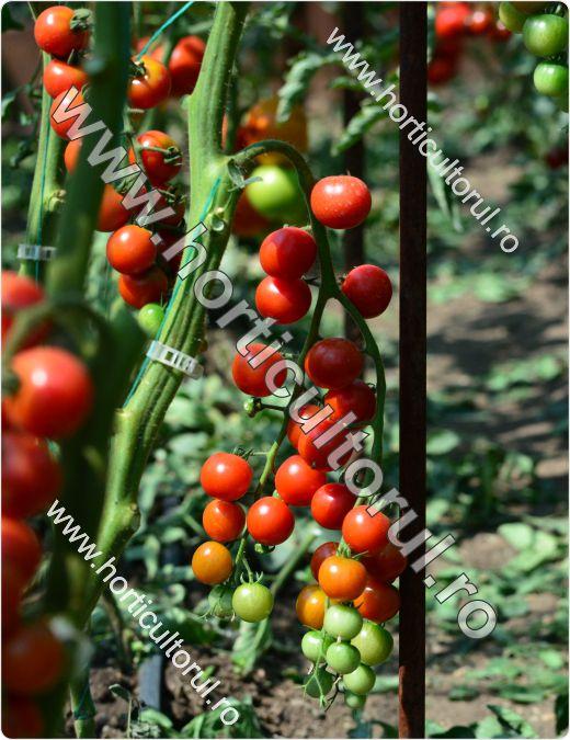 Tomatele-Rosiile Cherry--Chelsea Mini_1