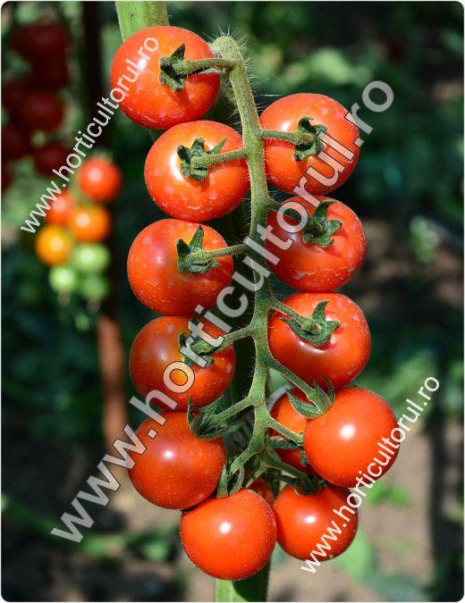 Tomatele-Rosiile Cherry-Chelsea Mini_2