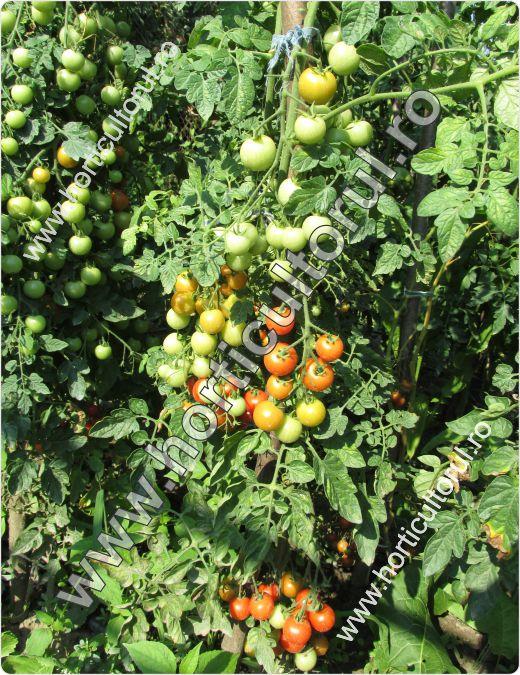 Tomatele-Rosiile Cherry-Idyll_1