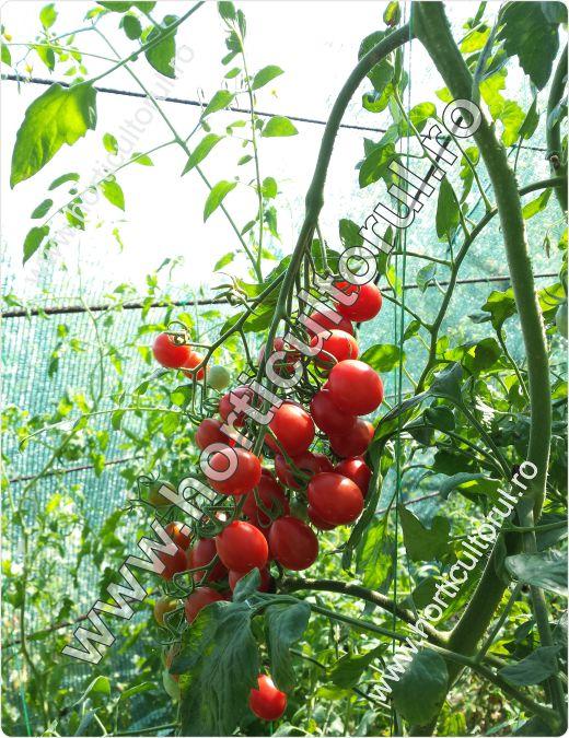 Tomatele-Rosiile Cherry-Tokita SUNGRAPE F1_1