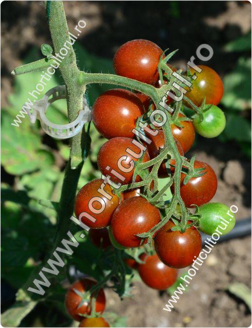 Tomatele-Rosiile Cherry-negre--cherry-kumato-2