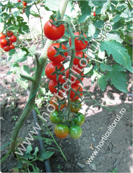 Tomatele cherry Chelsea Mini F1 (Solanum lycopersicum cherry Chelsea Mini F1)
