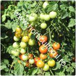 Tomatele cherry Idyll-cultivare