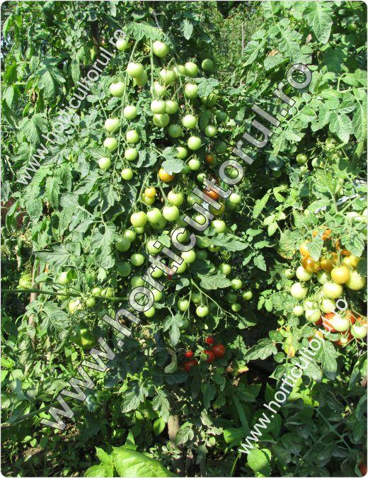 Tomatele cherry Idyll-cultivare_1