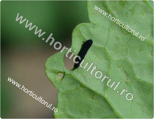 Viespea rapitei (Athalia rosae)
