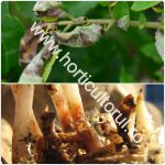 bolile-cartofului_afectarea-plantelor_150