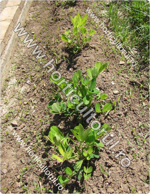 Fig. 1 Cultura de arahide-alune de pamant (Arachis hypogaea)