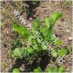 cultivarea-alunelor-de-pamant_150