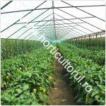 cultivarea-ardeiului-in-solar_150
