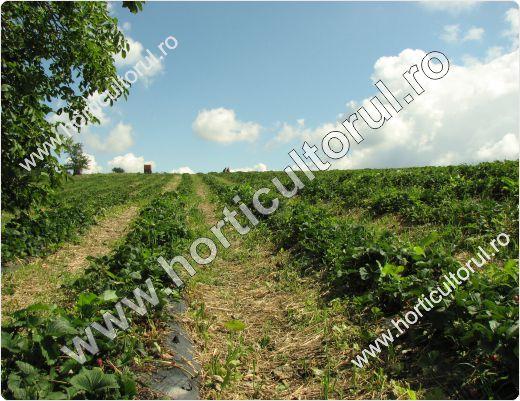 Cultivarea capsunilor in gradina & camp
