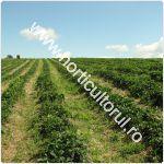 cultivarea-capsunilor-in-gradina_camp_150