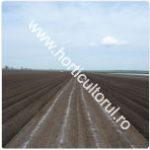 cultivarea-cartofului-timpuriu_gradina_camp_150