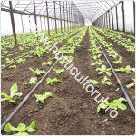 cultivarea-salatei-in-solarii-primavara_150