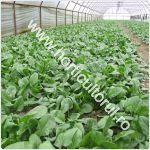 cultivarea-spanacului-in-solar_150