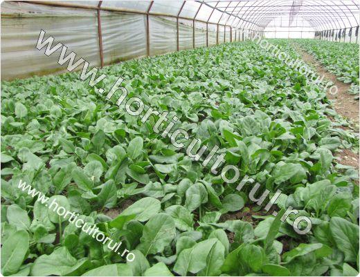 Cultivarea spanacului in solar: toamna-iarna-primavara