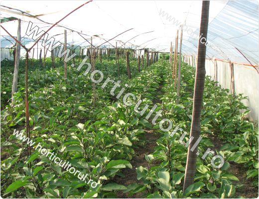 Cultivarea vinetelor in solarii - tehnologie completa