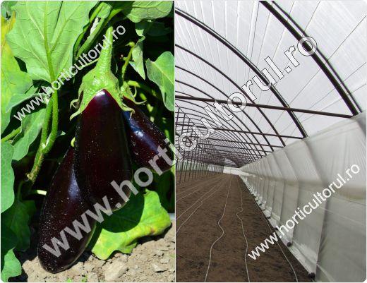 cultivarea-vinetelor-in-solarii_1