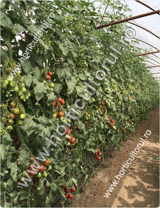 Cultura tomatelor in solar primavara – ciclul 1 scurt – extratimpuriu