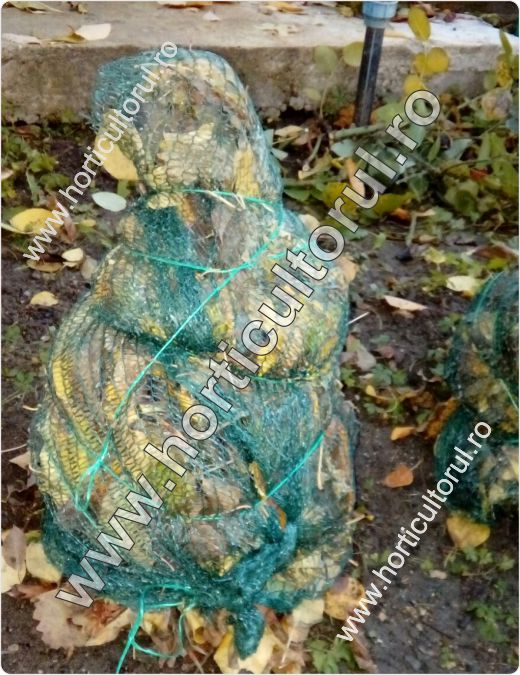 Fig. 2 Protejarea trandafirilor pentru iarna